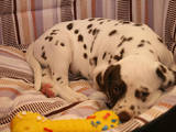 Собаки, щенята Далматин, ціна 3000 Грн., Фото