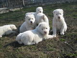 Собаки, щенята Середньоазіатська вівчарка, ціна 5300 Грн., Фото