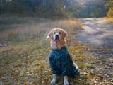 Собаки, щенята Золотистий ретрівер, Фото