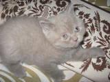 Кішки, кошенята Шотландська короткошерста, ціна 650 Грн., Фото