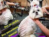 Собаки, щенята Пекінес, ціна 140 Грн., Фото