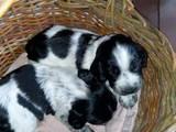 Собаки, щенки Русский спаниель, цена 750 Грн., Фото