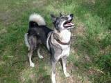 Собаки, щенки Восточно-Сибирская лайка, цена 2000 Грн., Фото
