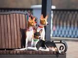 Собаки, щенята Басенджі, ціна 13000 Грн., Фото