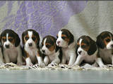 Собаки, щенки Бигль, цена 6800 Грн., Фото