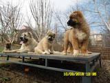 Собаки, щенята Кавказька вівчарка, ціна 4000 Грн., Фото