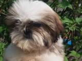 Собаки, щенки Ши-тцу, цена 4000 Грн., Фото