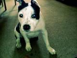 Собаки, щенята Американський стаффордширський тер'єр, ціна 3700 Грн., Фото