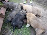 Собаки, щенята Кавказька вівчарка, ціна 2600 Грн., Фото