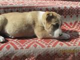 Собаки, щенки Среднеазиатская овчарка, цена 2300 Грн., Фото