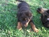 Собаки, щенки Ротвейлер, цена 3000 Грн., Фото