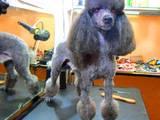 Собаки, щенки Малый пудель, цена 130 Грн., Фото