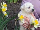 Собаки, щенки Мальтийская болонка, цена 7500 Грн., Фото