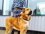 Собаки, щенята Середньоазіатська вівчарка, ціна 3500 Грн., Фото