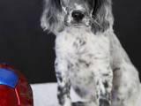 Собаки, щенки Английский сеттер, цена 15000 Грн., Фото