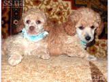 Собаки, щенки Карликовый пудель, цена 3000 Грн., Фото