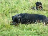 Собаки, щенята Ротвейлер, ціна 6500 Грн., Фото