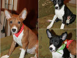 Собаки, щенки Басенджи, цена 11000 Грн., Фото