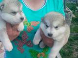Собаки, щенята Аляска маламут, ціна 4900 Грн., Фото