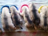 Собаки, щенки Аляскинский маламут, цена 4900 Грн., Фото