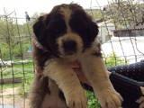 Собаки, щенята Московська сторожова, ціна 4000 Грн., Фото