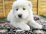 Собаки, щенята Кавказька вівчарка, ціна 8000 Грн., Фото