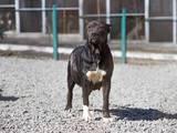 Собаки, щенята Кане Корсо, ціна 1200 Грн., Фото