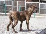 Собаки, щенки Кане Корсо, цена 1200 Грн., Фото