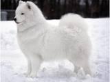 Собаки, щенята Самоїдом, ціна 1000 Грн., Фото