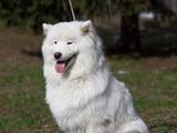 Собаки, щенки Самоед, цена 1000 Грн., Фото