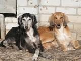 Собаки, щенки Салюки, цена 8100 Грн., Фото