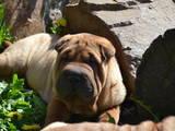 Собаки, щенята Шарпей, ціна 3500 Грн., Фото