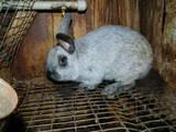 Грызуны Кролики, цена 280 Грн., Фото