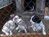 Собаки, щенята Російський спаніель, ціна 700 Грн., Фото