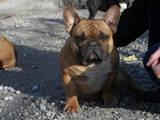 Собаки, щенки Французский бульдог, цена 100 Грн., Фото