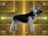 Собаки, щенята Східно-Європейська вівчарка, ціна 8000 Грн., Фото