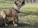 Собаки, щенки Американский стаффордширский терьер, цена 2200 Грн., Фото