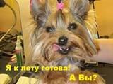 Собаки, щенята Йоркширський тер'єр, ціна 140 Грн., Фото