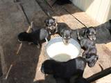 Собаки, щенки Латвийская гончая, цена 800 Грн., Фото