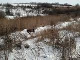 Собаки, щенята Німецька жорсткошерста лягава, ціна 8000 Грн., Фото