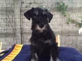 Собаки, щенята Цвергшнауцер, ціна 11000 Грн., Фото