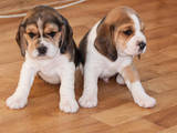 Собаки, щенята Бігль, ціна 5000 Грн., Фото