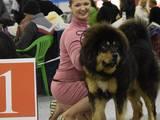 Собаки, щенята Тибетський мастиф, ціна 20000 Грн., Фото