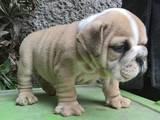 Собаки, щенки Английский бульдог, цена 2000 Грн., Фото