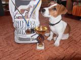 Собаки, щенки Джек Рассел терьер, цена 3400 Грн., Фото