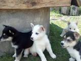 Собаки, щенки Восточно-Сибирская лайка, цена 850 Грн., Фото