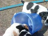 Собаки, щенята Російський спаніель, ціна 1500 Грн., Фото