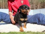 Собаки, щенки Ротвейлер, цена 20000 Грн., Фото
