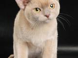 Кошки, котята Бурма, цена 16000 Грн., Фото