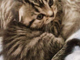 Кошки, котята Шотландская вислоухая, цена 2200 Грн., Фото